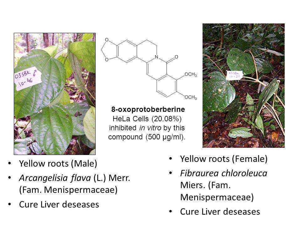 Yellow roots (Male) Arcangelisia flava (L.) Merr. (Fam.