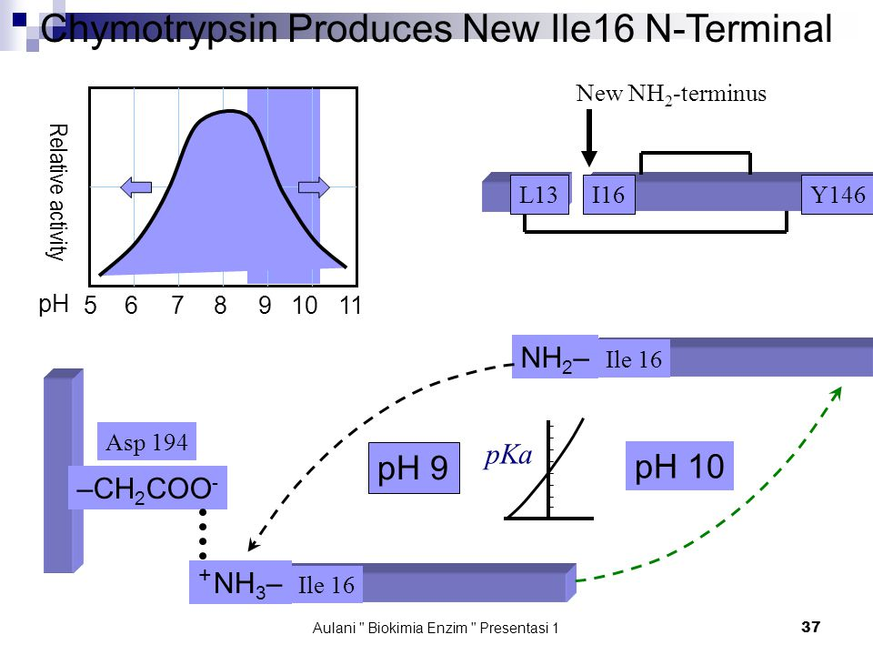 Aulani Biokimia Enzim Presentasi 1 37 Chymotrypsin Produces New Ile16 N-Terminal I16L13Y146 Asp 194 –CH 2 COO - Ile 16 NH 2 – Ile 16 + NH 3 – 5 6 7 8 9 10 11 pH Relative activity pH 9 pH 10 pKa New NH 2 -terminus