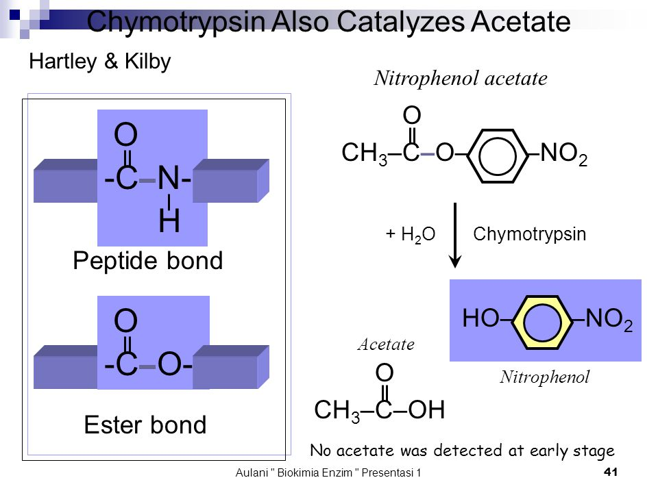Aulani Biokimia Enzim Presentasi 1 41 Chymotrypsin Also Catalyzes Acetate O -C N- H O -C O- Peptide bond Ester bond O CH 3 –C–O– –NO 2 Nitrophenol acetate HO– –NO 2 O CH 3 –C–OH Hartley & Kilby Chymotrypsin+ H 2 O Nitrophenol Acetate No acetate was detected at early stage