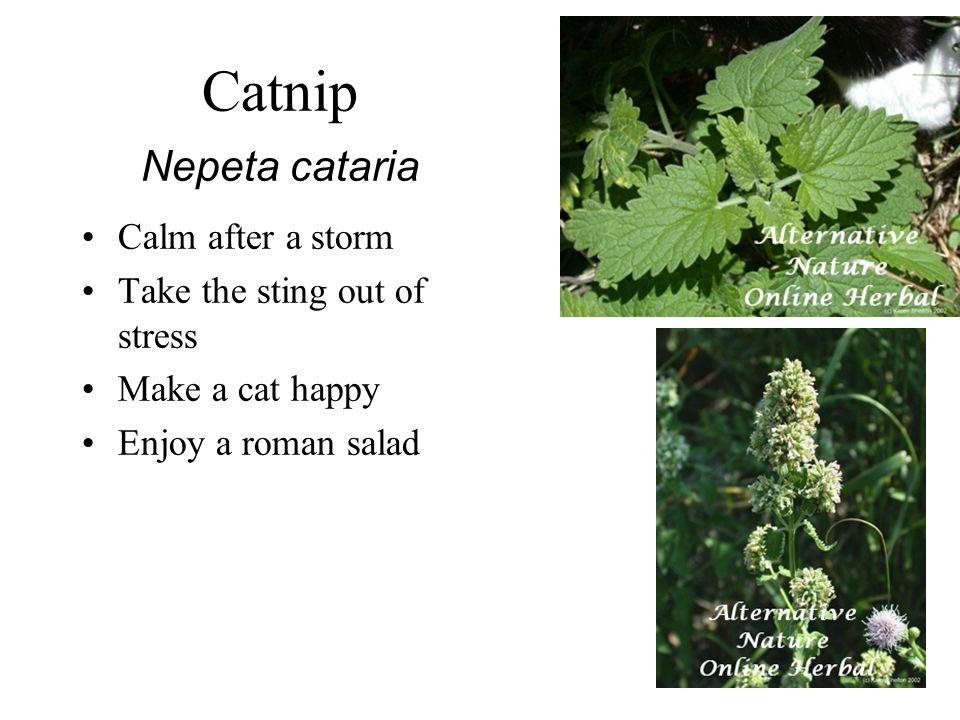 Catnip Nepeta cataria Calm after a storm Take the sting out of stress Make a cat happy Enjoy a roman salad