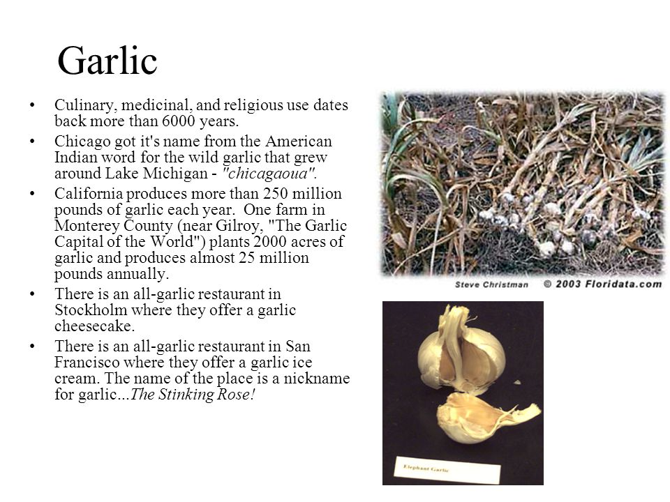 Garlic Culinary, medicinal, and religious use dates back more than 6000 years. Chicago got it's name from the American Indian word for the wild garlic