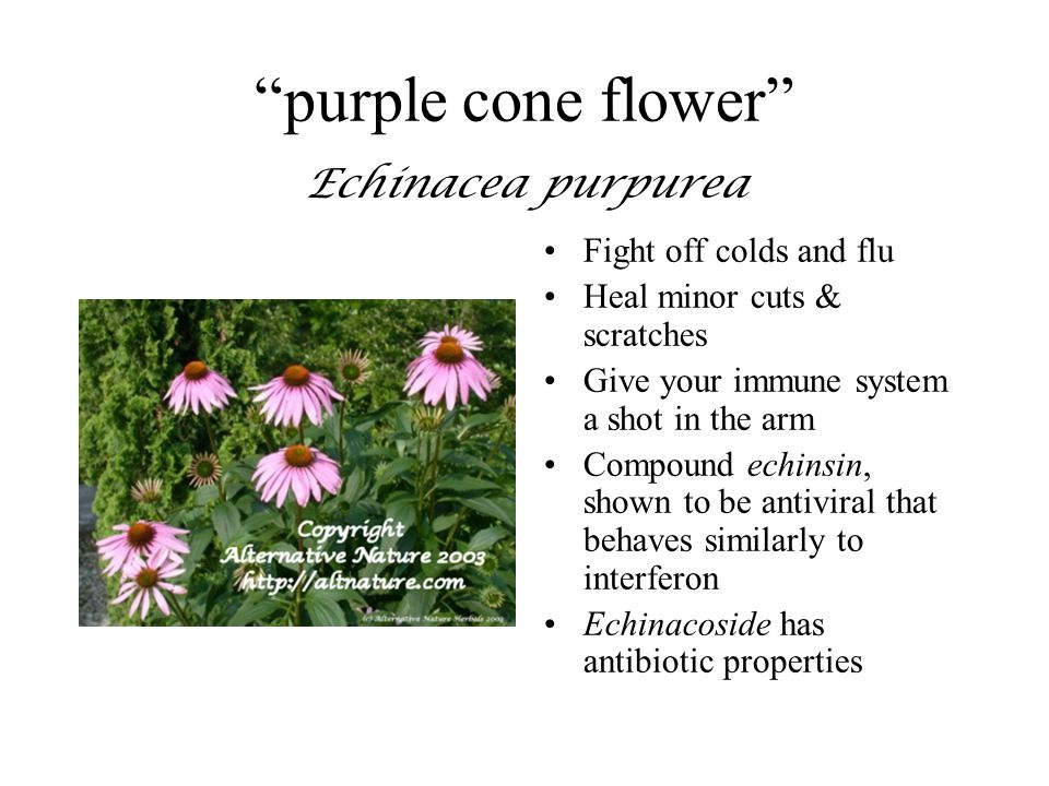 """""""purple cone flower"""" Echinacea purpurea Fight off colds and flu Heal minor cuts & scratches Give your immune system a shot in the arm Compound echinsi"""