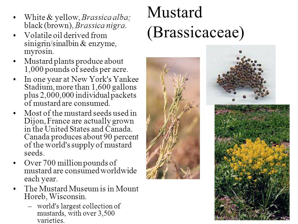 Mustard (Brassicaceae) White & yellow, Brassica alba; black (brown), Brassica nigra. Volatile oil derived from sinigrin/sinalbin & enzyme, myrosin. Mu