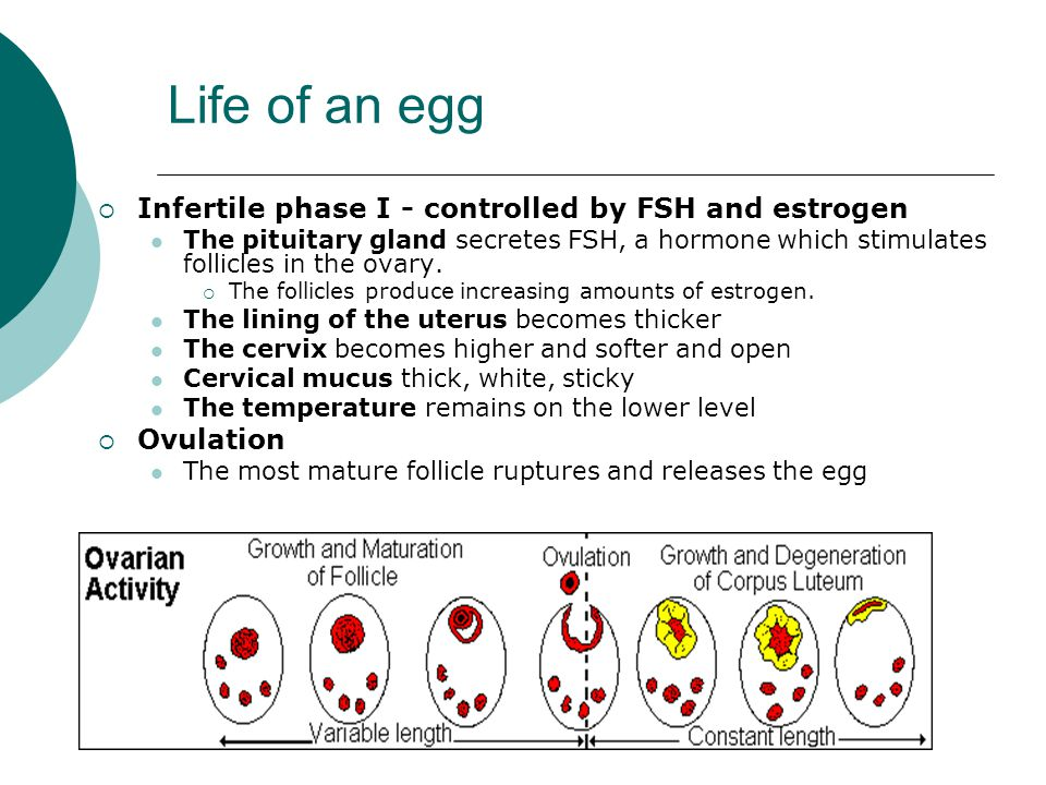 Life of an egg  Infertile phase I - controlled by FSH and estrogen The pituitary gland secretes FSH, a hormone which stimulates follicles in the ovary.