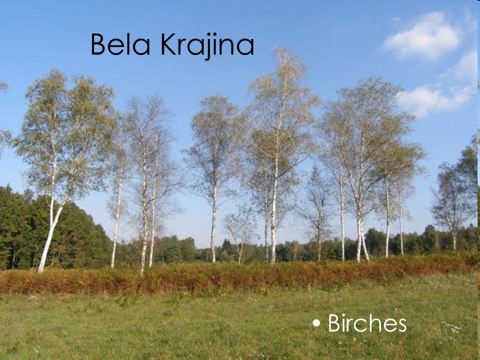 Bela Krajina Birches