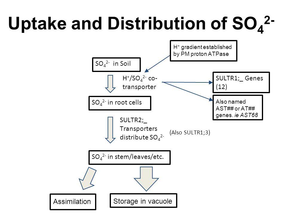 http://nauka.in.ua/upload/iblock/cc8/cc815df55ec3024ae521b228aedb75d8.jpg Sulfate in Soil Root Uptake Transport in Xylem Vessels Important Destination=Leaves The Basics of Sulfur Transport Grossman, et al.