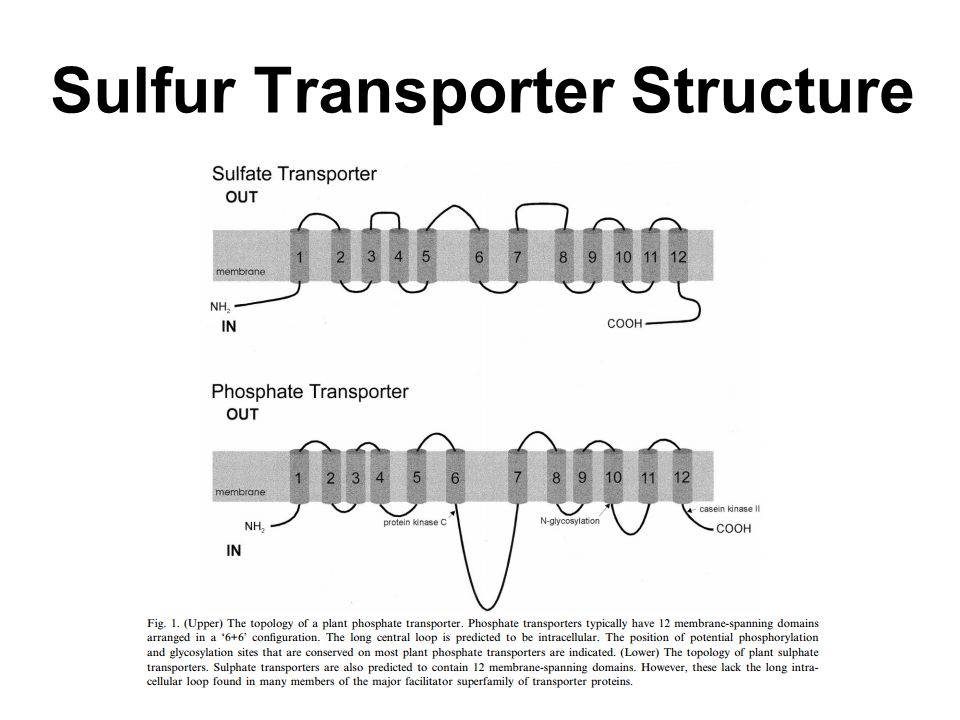 Sulfur Transporter Groups Group numberGeneral functionAssociated Genes Group 1Primary uptake of sulfate by the root Sultr1;1, Sultr1;2 - initial uptake Sultr1;3 - mediates redistribution of sulfate Group 2Mediates transport of sulfate within vascular tissues (xylem and phloem) Sultr2;1 - stem and leaf expression Sultr2;2 - root expression Group 3Not well characterizedSultr3;1, Sultr3;4 - stem expression Sultr3;2, Sultr3;5 -root expression Sultr3;3 - leaf and root expression, uptake into non vascular tissue Group 4May be responsible for sulfate efflux from vacuole Sultr4;1 Sultr4;2