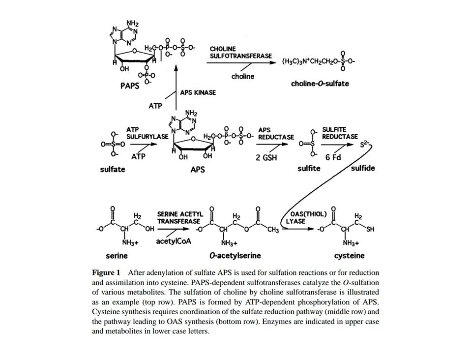 Control of Sulfate Uptake in A.