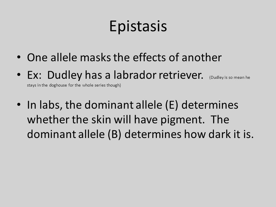 Epistasis One allele masks the effects of another Ex: Dudley has a labrador retriever.