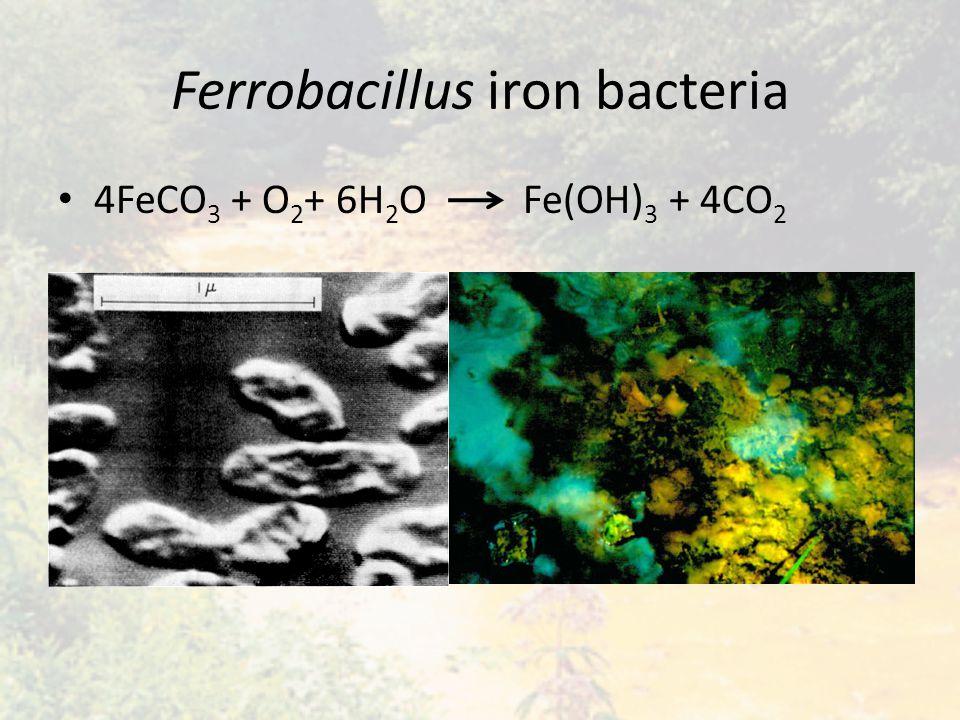 Ferrobacillus iron bacteria 4FeCO 3 + O 2 + 6H 2 O Fe(OH) 3 + 4CO 2