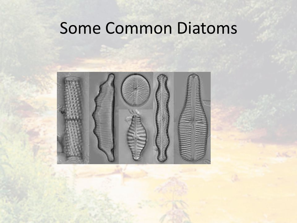 Some Common Diatoms