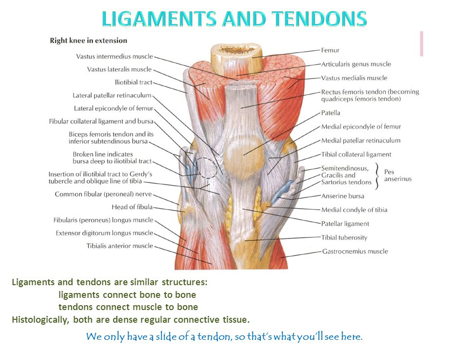 Ligaments and tendons are similar structures: ligaments connect bone to bone tendons connect muscle to bone Histologically, both are dense regular connective tissue.