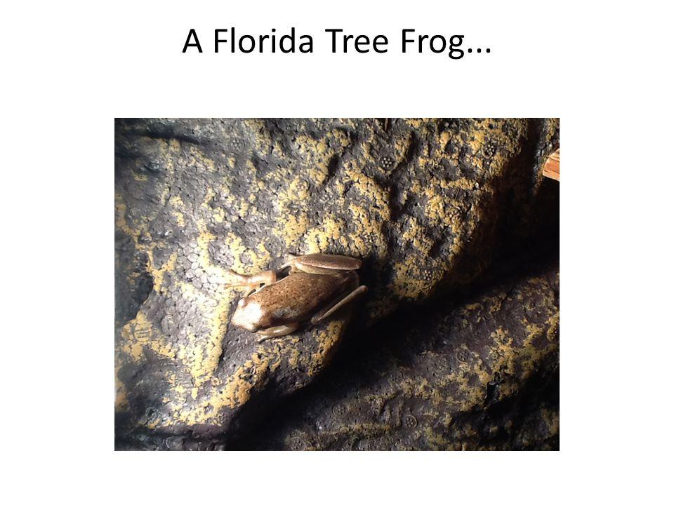 A Florida Tree Frog...