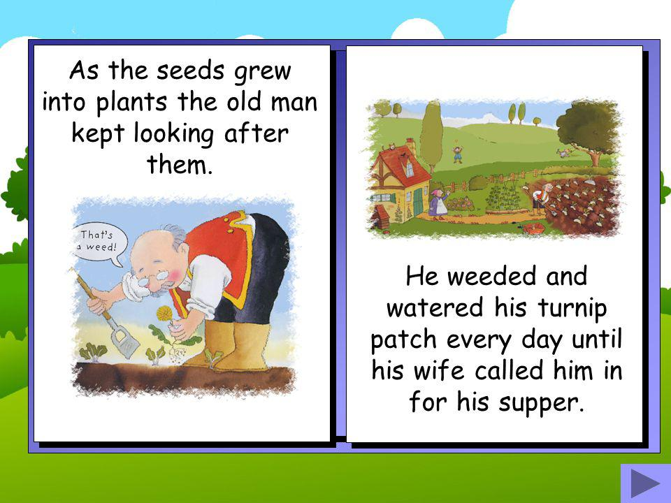 As the seeds grew into plants the old man kept looking after them.