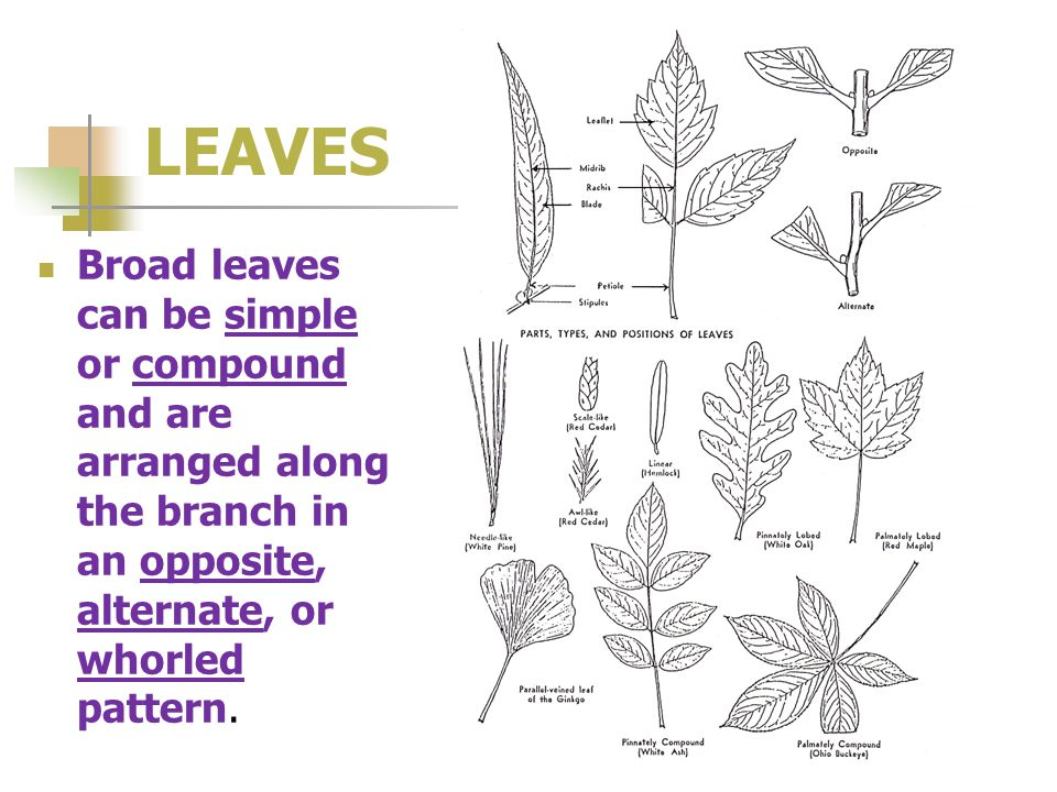 LEAVES Broad leaves can be simple or compound and are arranged along the branch in an opposite, alternate, or whorled pattern.