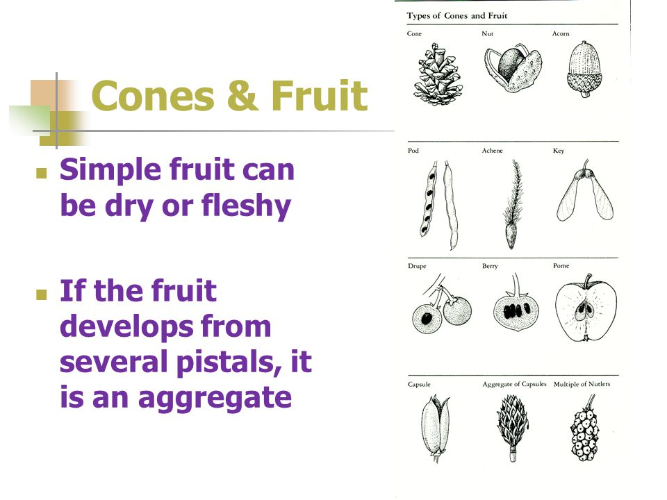 Cones & Fruit Simple fruit can be dry or fleshy If the fruit develops from several pistals, it is an aggregate