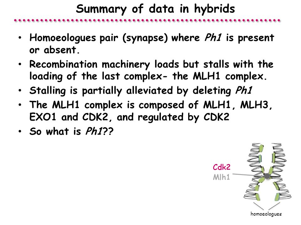 Summary of data in hybrids homoeologues Mlh1 Cdk2 Homoeologues pair (synapse) where Ph1 is present or absent.