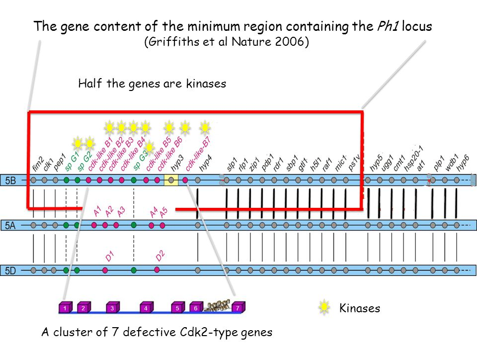 The gene content of the minimum region containing the Ph1 locus Kinases Half the genes are kinases A cluster of 7 defective Cdk2-type genes (Griffiths et al Nature 2006)