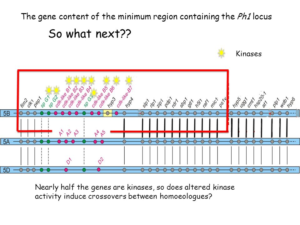 The gene content of the minimum region containing the Ph1 locus Kinases So what next .