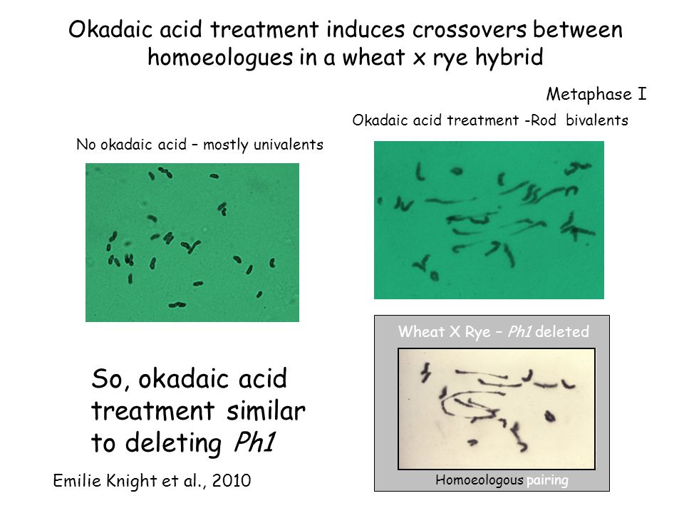 Okadaic acid treatment induces crossovers between homoeologues in a wheat x rye hybrid Homoeologous pairing Wheat X Rye – Ph1 deleted No okadaic acid – mostly univalents Okadaic acid treatment -Rod bivalents So, okadaic acid treatment similar to deleting Ph1 Emilie Knight et al., 2010 Metaphase I