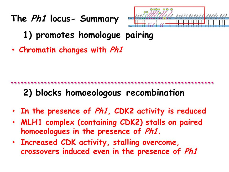 The Ph1 locus- Summary In the presence of Ph1, CDK2 activity is reduced MLH1 complex (containing CDK2) stalls on paired homoeologues in the presence of Ph1.