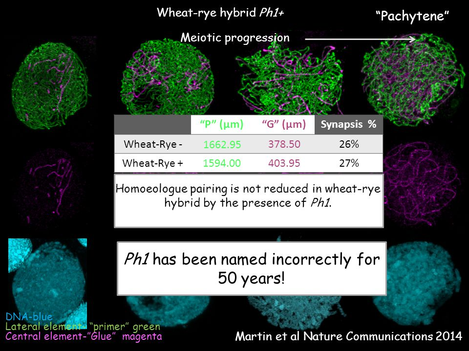 Wheat-rye hybrid Ph1+ Lateral element- primer green Central element- Glue magenta DNA-blue P (µm) G (µm)Synapsis % Wheat-Rye - 1662.95 378.5026% Wheat-Rye +1594.00403.9527% Homoeologue pairing is not reduced in wheat-rye hybrid by the presence of Ph1.