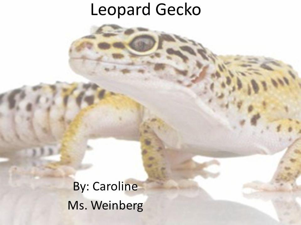 Leopard Gecko By: Caroline Ms. Weinberg