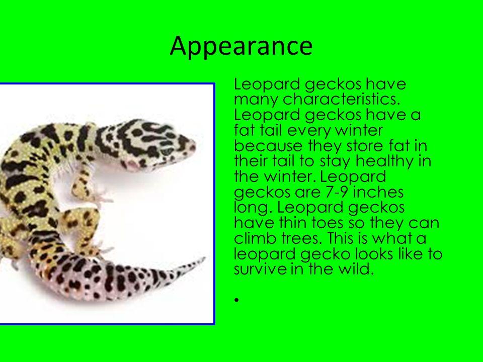 Appearance Leopard geckos have many characteristics.