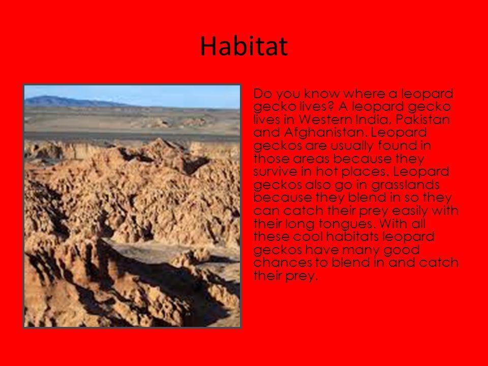 Habitat Do you know where a leopard gecko lives.