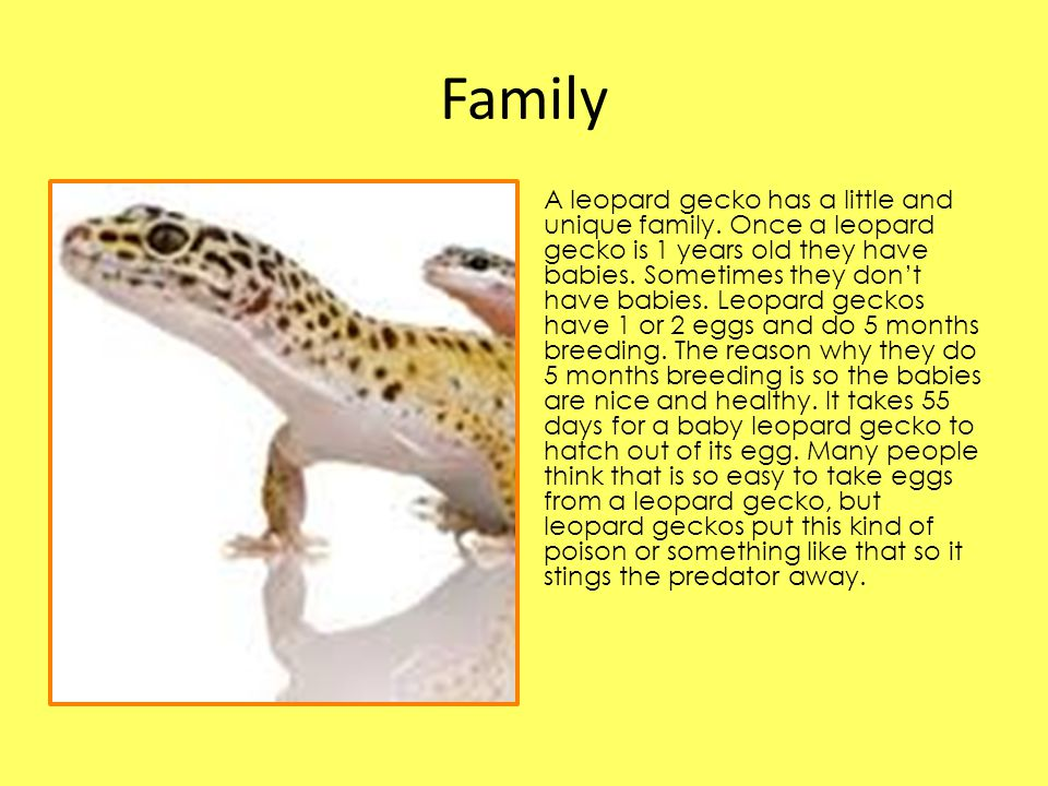 Family A leopard gecko has a little and unique family.