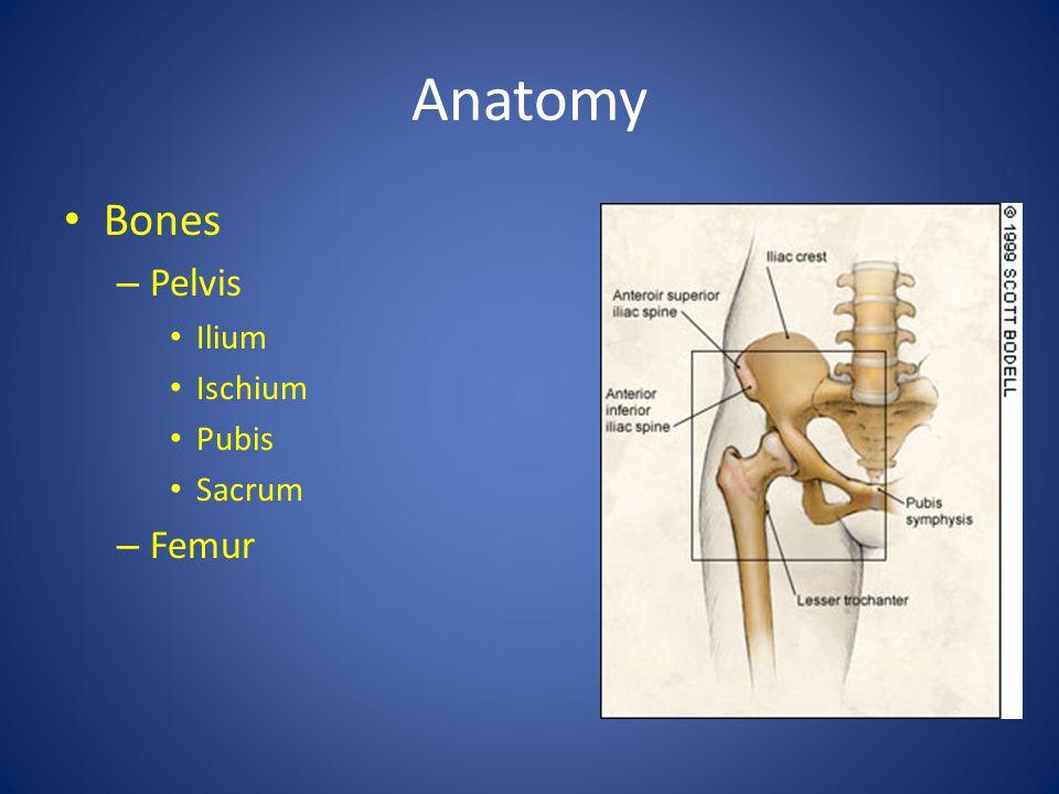 Anatomy Bones – Pelvis Ilium Ischium Pubis Sacrum – Femur