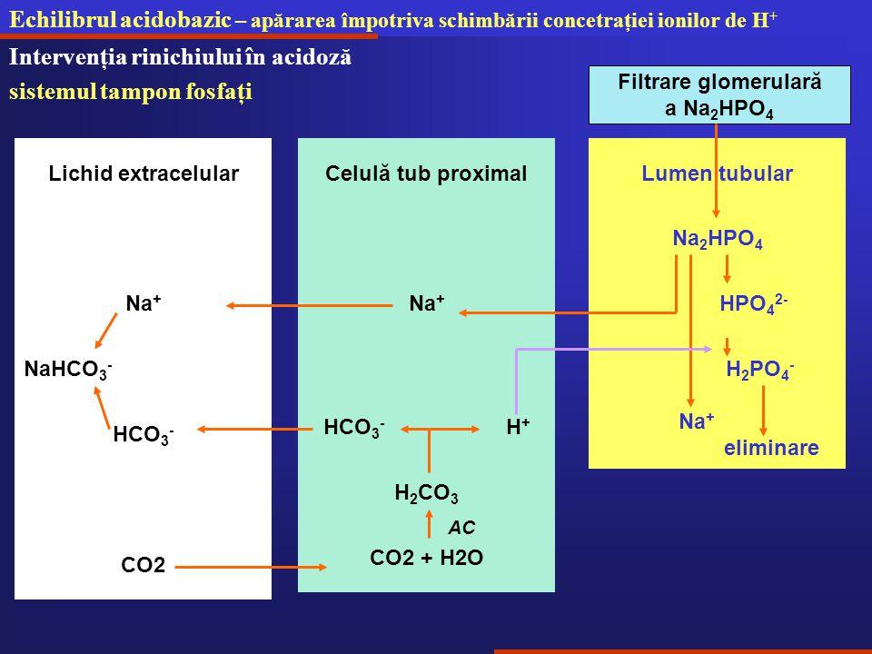 Echilibrul acidobazic – apărarea împotriva schimbării concetraţiei ionilor de H + Intervenţia rinichiului în acidoză sistemul tampon fosfaţi H 2 PO 4 - Na + Lichid extracelular Filtrare glomerulară a Na 2 HPO 4 Na 2 HPO 4 Lumen tubular HPO 4 2- Celulă tub proximal Na + H 2 CO 3 CO2 CO2 + H2O HCO 3 - H + AC HCO 3 - Na + eliminare NaHCO 3 -