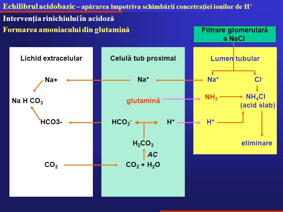 Echilibrul acidobazic – apărarea împotriva schimbării concetraţiei ionilor de H + Intervenţia rinichiului în acidoză Formarea amoniacului din glutamină Lumen tubular NH 4 Cl (acid slab) Na + Cl - Filtrare glomerulară a NaCl Na + Celulă tub proximalLichid extracelular Na+ Na H CO 3 HCO3- H 2 CO 3 HCO 3 - H + CO 2 + H 2 OCO 2 AC H+H+ eliminare glutamină NH 3