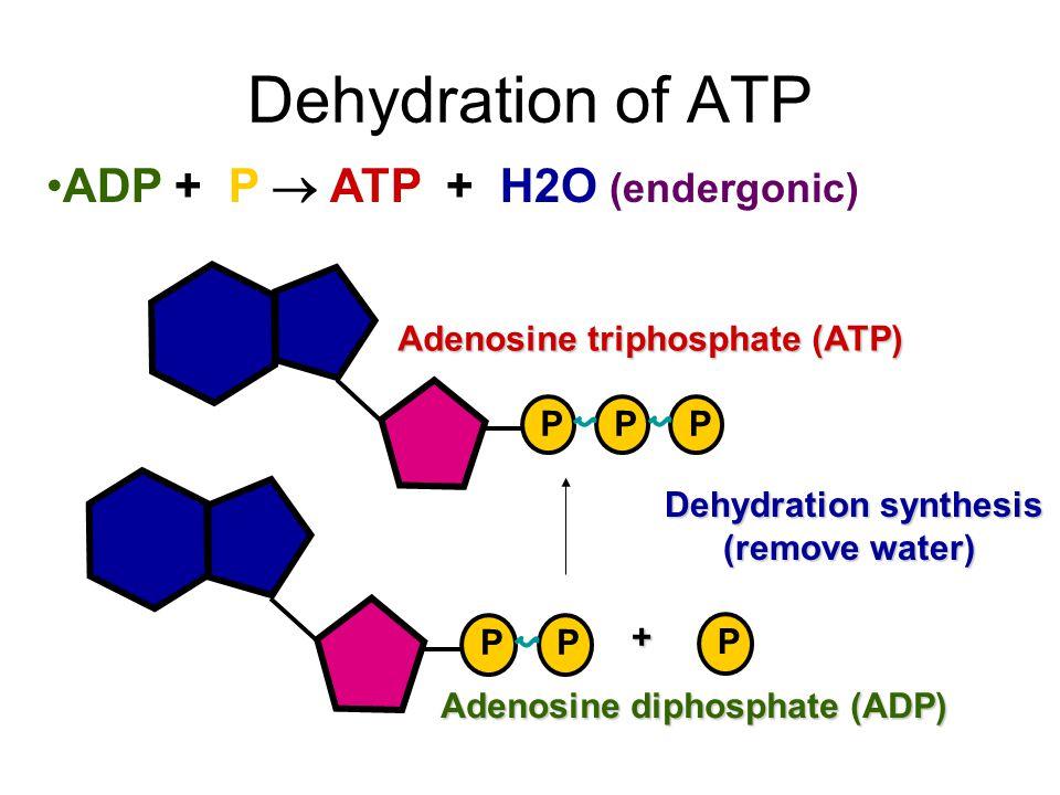 PPP Adenosine triphosphate (ATP) PP P + Adenosine diphosphate (ADP) Hydrolysis of ATP ATP + H2O  ADP + P (exergonic) Hydrolysis (add water)