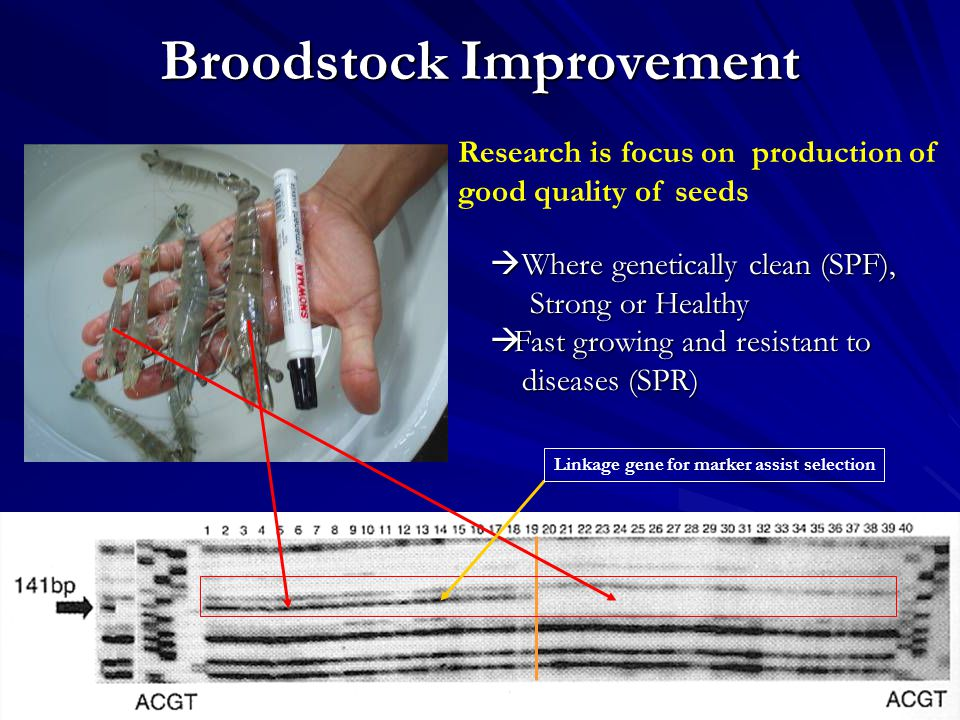 Broodstock Improvement Research is focus on production of good quality of seeds  Where genetically clean (SPF), Strong or Healthy Strong or Healthy  Fast growing and resistant to diseases (SPR) diseases (SPR) Linkage gene for marker assist selection