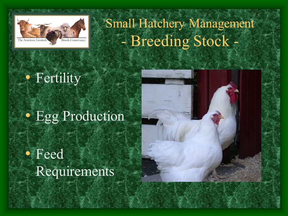 Small Hatchery Management - Lessons Learned - Management Considerations: Broody Hens cause Fertile Eggs to begin Growth, Saving these Started Eggs Kills Embryo Someone must Maintain Breeding Flock Breeder Replacements must be Grown, Selected, and Maintained