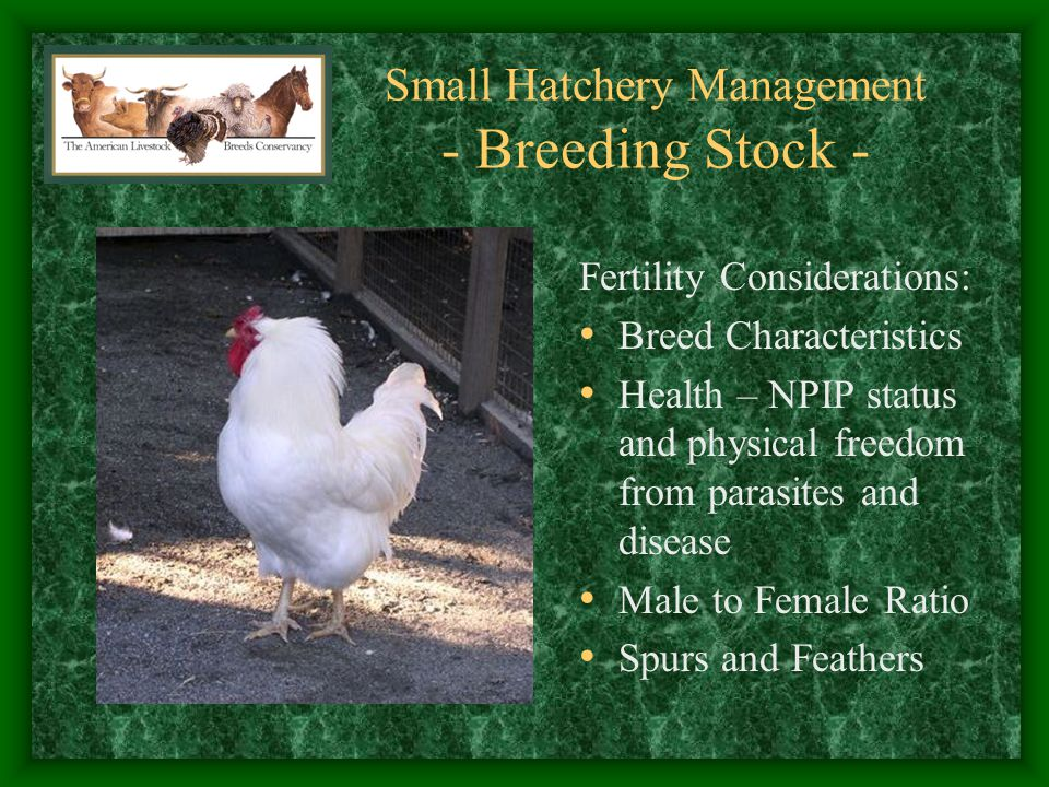 Small Hatchery Management - Breeding Stock - Egg Production Considerations: Male Fighting and Hen Harassment Lights – 14 Hours Parasite Management Disease Management Timing Production
