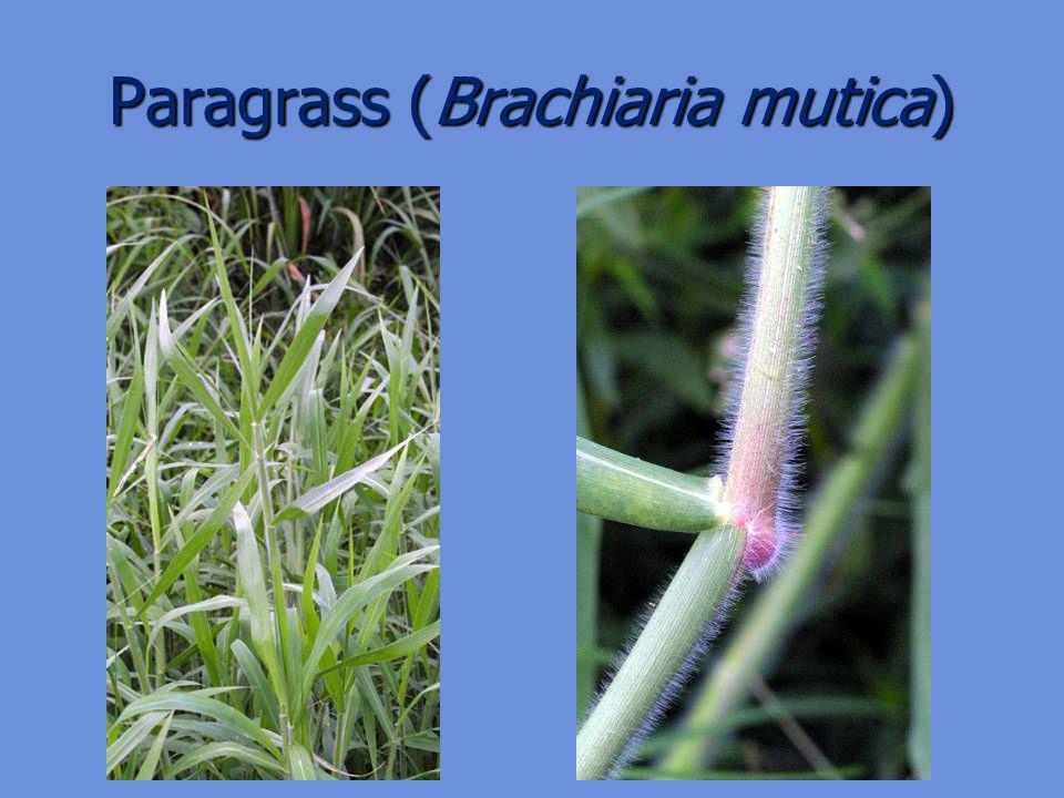 Paragrass (Brachiaria mutica)