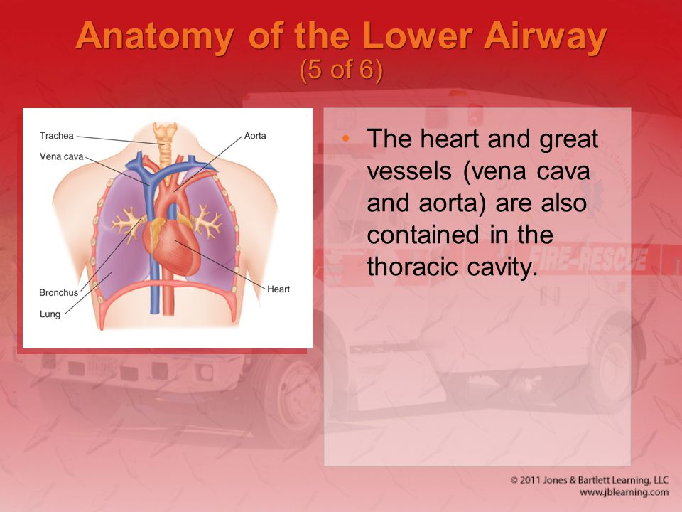Anatomy of the Lower Airway (5 of 6) The heart and great vessels (vena cava and aorta) are also contained in the thoracic cavity.