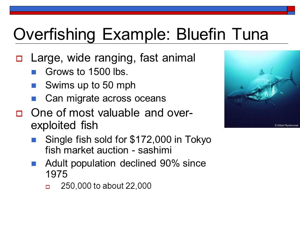 Overfishing Example: Bluefin Tuna  Large, wide ranging, fast animal Grows to 1500 lbs.