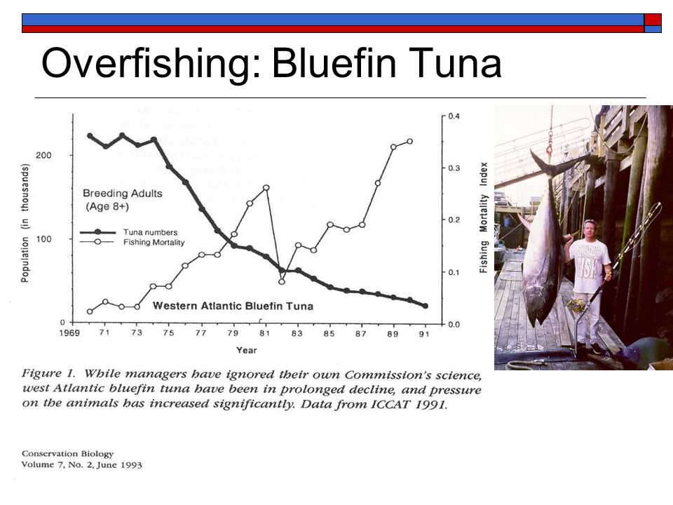 Overfishing: Bluefin Tuna