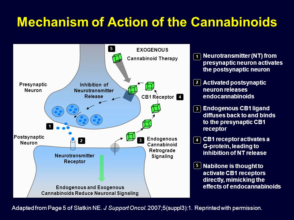 Mechanism of Action of the Cannabinoids Neurotransmitter (NT) from presynaptic neuron activates the postsynaptic neuron 1 2 3 4 5 Endogenous and Exoge