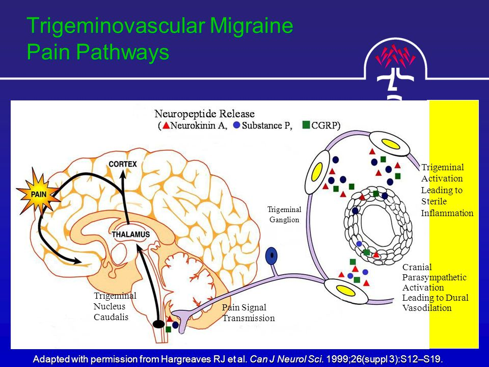 Trigeminovascular Migraine Pain Pathways Adapted with permission from Hargreaves RJ et al.