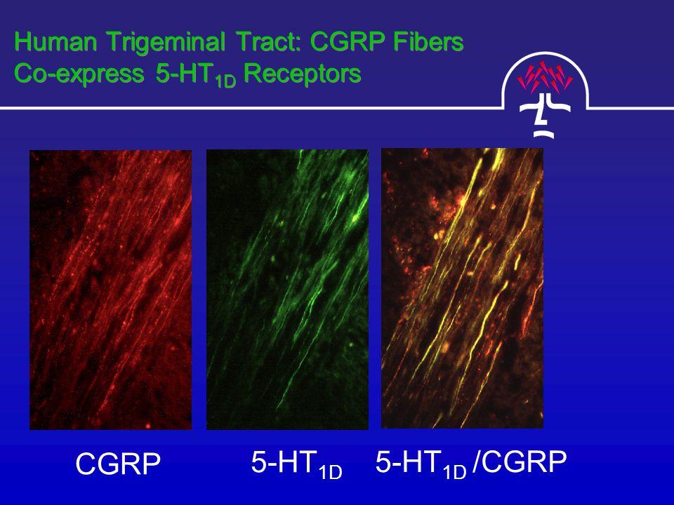 5-HT 1D CGRP 5-HT 1D /CGRP Human Trigeminal Tract: CGRP Fibers Co-express 5-HT 1D Receptors
