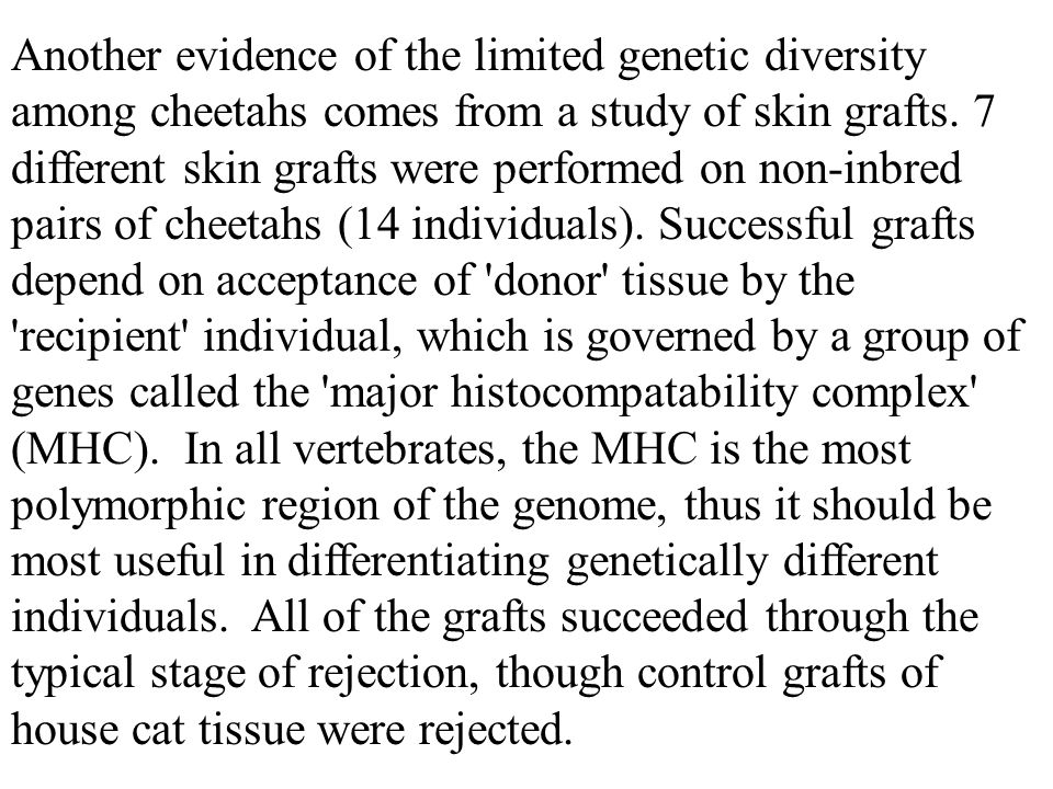 Another evidence of the limited genetic diversity among cheetahs comes from a study of skin grafts.