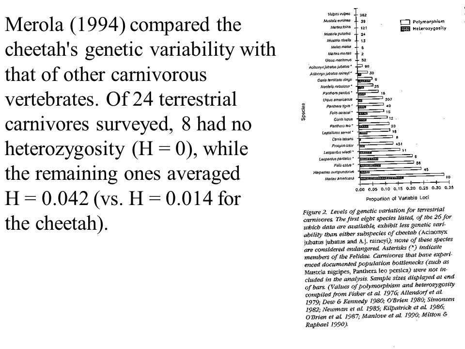 Merola (1994) compared the cheetah s genetic variability with that of other carnivorous vertebrates.