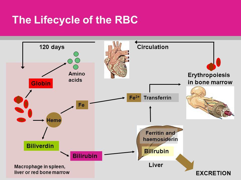 The Lifecycle of the RBC EXCRETION Macrophage in spleen, liver or red bone marrow Globin Amino acids Heme Biliverdin Bilirubin Fe Bilirubin Circulation120 days Fe 3+ Transferrin Ferritin and haemosiderin Liver Erythropoiesis in bone marrow