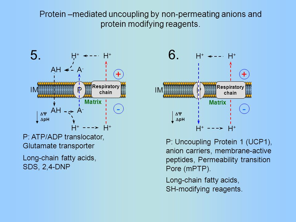 Respiratory chain H+H+ H+H+ AH A-A- A-A- H+H+ H+H+ IM Matrix P Protein –mediated uncoupling by non-permeating anions and protein modifying reagents.