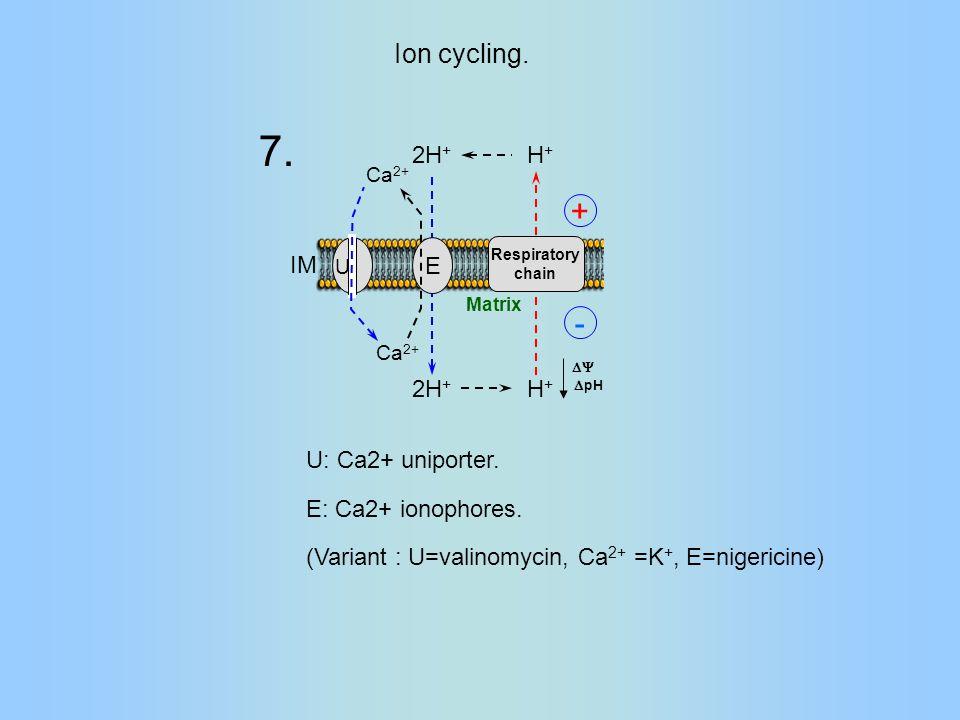 Respiratory chain H+H+ H+H+ 2H + IM Matrix E U  pH  - + Ca 2+ U: Ca2+ uniporter.