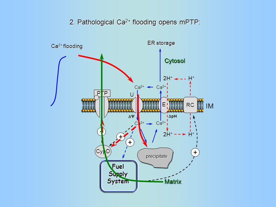 RC H+H+ H+H+ Ca 2+ 2H + IM Matrix  pH  Ca 2+ 2H + U E precipitate + CypD + + Fuel Supply System PTP Cytosol Ca 2+ flooding ER storage + 2.